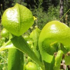 Darlingtonia californica green pitchers  semi