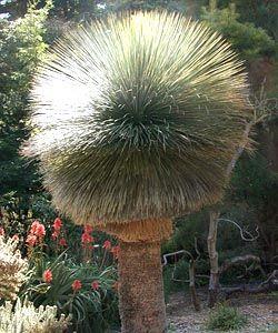 Dasylirion quadrangulatum Mexikanischer Grasbaum Samen