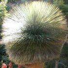 Dasylirion quadrangulatum Dasylirion gracieux graines