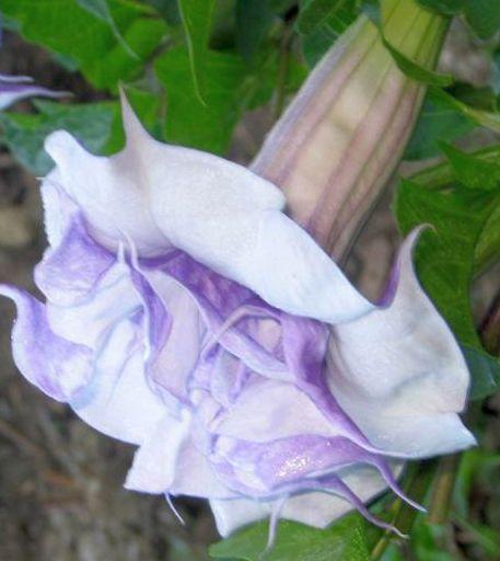 Datura aquamarine trompeta de ángel semillas
