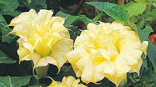 Datura golden queen frilled double trompeta de ángel semillas