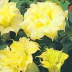Datura golden queen frilled double Датура золотая королева. Желтый махровый дурман  cемян