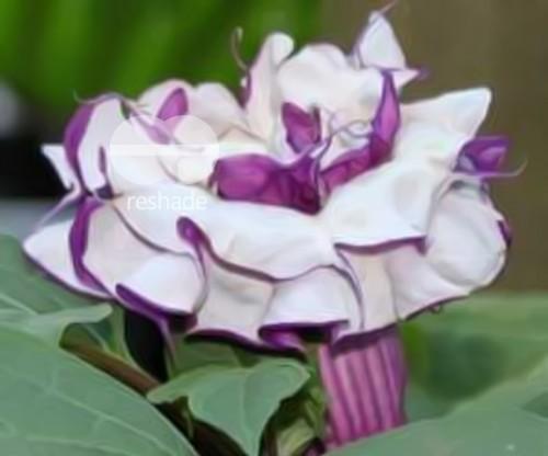 Datura metel purple Angeli di tromba semi