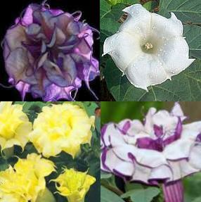 Datura mixed  semi