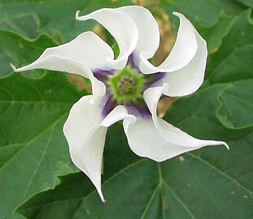 Datura stramonium trompeta de ángel semillas