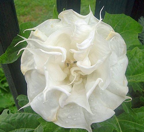 Datura white double purity trompeta de ángel semillas