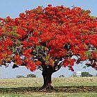 Delonix regia Rosso Fiammeggiante semi