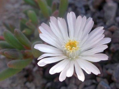 Delosperma karrooicum  semi