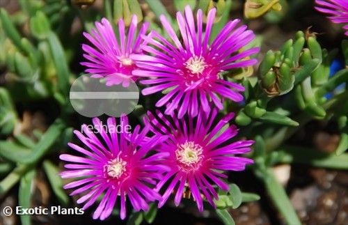 Delosperma lydenburgense planta suculenta semillas