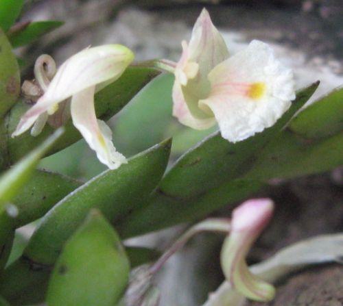 Dendrobium bilobulatum  semi