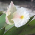 Dendrobium bilobulatum  cемян