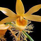Dendrobium brymerianum orqu?dea semillas