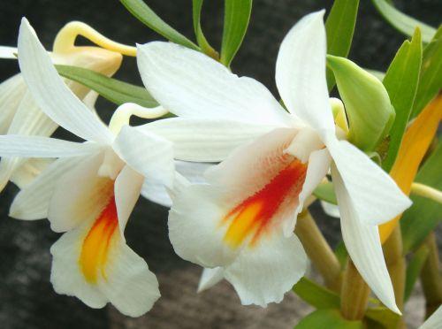 Dendrobium christyanum Orchideen Samen