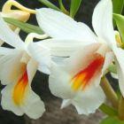 Dendrobium christyanum  semillas