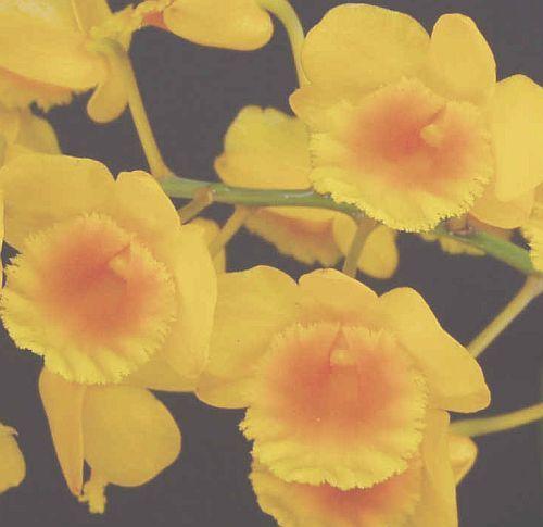 Dendrobium chrysotoxum Orchideen Samen