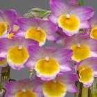 Dendrobium crepidatum  semi