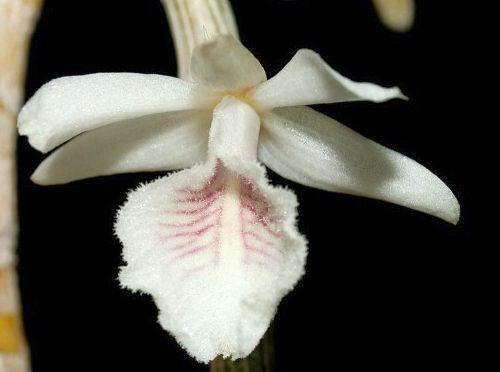 Dendrobium cretaceum  semi