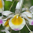 Dendrobium crystallinum orchidea semi