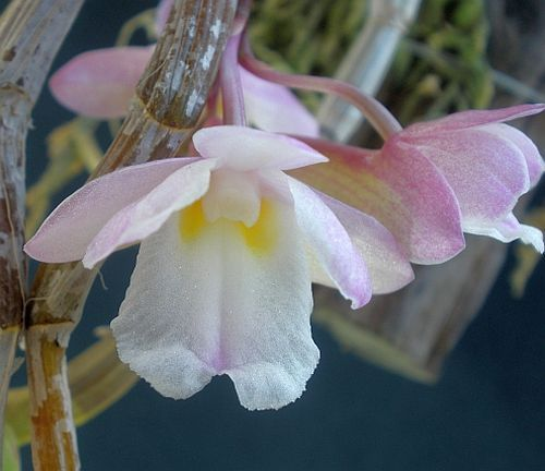 Dendrobium cumulatum  Семена