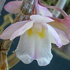 Dendrobium cumulatum orqu?dea semillas