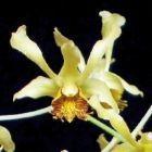 Dendrobium delacourii  cемян