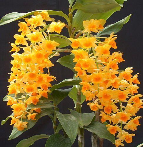 Dendrobium densiflorum Orchideen Samen
