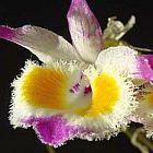 Dendrobium devonianum Orchideen Samen