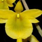 Dendrobium dixanthum  cемян