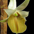 Dendrobium ellipsophyllum orqu?dea semillas