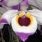 Dendrobium falconeri Orchideen Samen