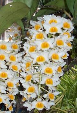 Dendrobium farmeri  semi