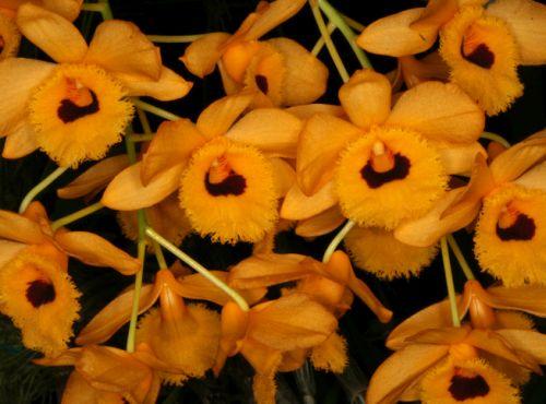 Dendrobium fimbriatum Gesäumte Lippen Dendrobium Samen