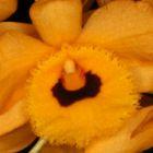 Dendrobium fimbriatum Ges?umte Lippen Dendrobium Samen