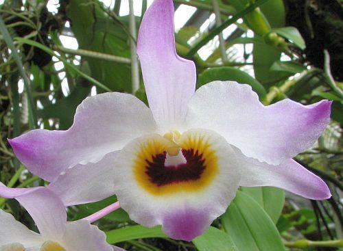 Dendrobium findlayanum  Семена