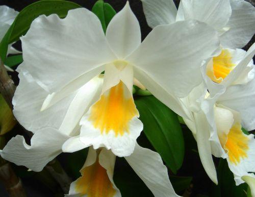Dendrobium formosum Riesen-Blüten Dendrobium Samen