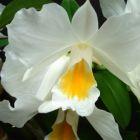 Dendrobium formosum Riesen-Bl?ten Dendrobium Samen