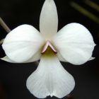 Dendrobium fytchianum Fytchs Dendrobium Samen