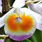Dendrobium gratiosissimum Orchideen Samen