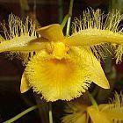 Dendrobium harveyanum Orchideen Samen