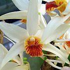 Dendrobium heterocarpum Orchideen Samen