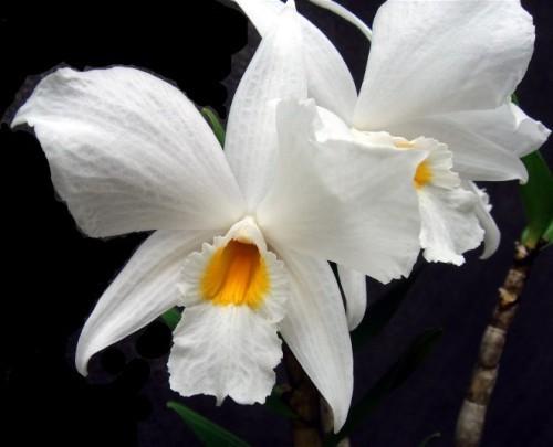 Dendrobium infundibulum  semi
