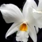 Dendrobium infundibulum Orchideen Samen