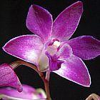 Dendrobium kingianum rosa Felsen Orchidee - Kapit?n K?nig Dendrobium Samen
