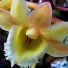 Dendrobium lampongense Orchideen Samen
