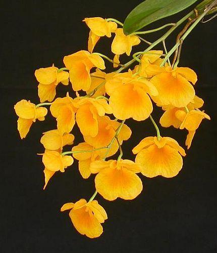 Dendrobium lindleyi  Семена