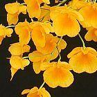 Dendrobium lindleyi Orchideen Samen
