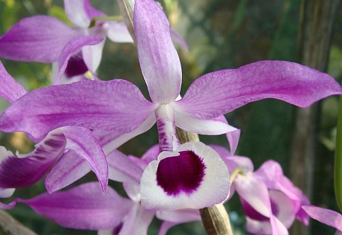 Dendrobium lituiflorum Orchideen Samen