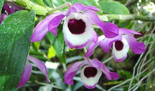 Dendrobium nobile edle Dendrobium Samen