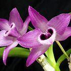 Dendrobium parishii  cемян