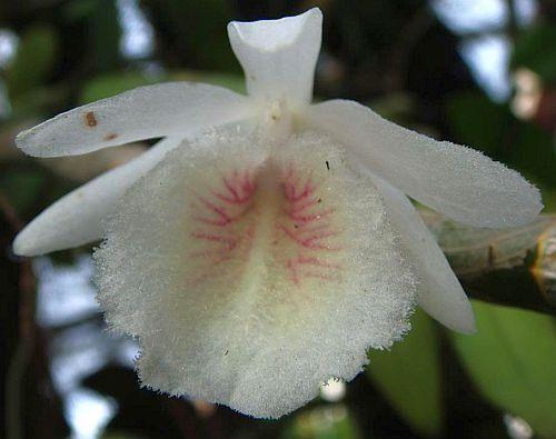 Dendrobium polyanthum Orchideen Samen